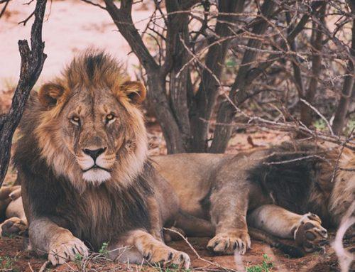 Domador de leones